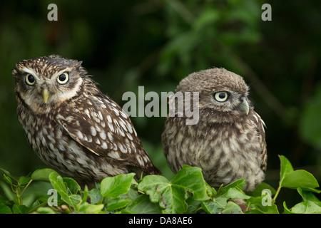 Paar kleine Eulen (Athene Noctua) auf eine Hecke - Stockfoto