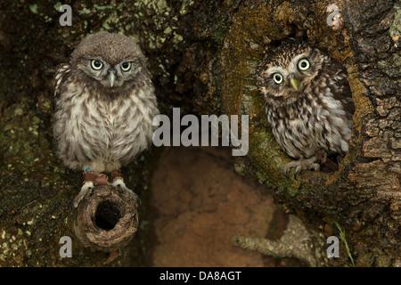 Paar kleine Eulen (Athene Noctua) auf Baumstamm - Stockfoto