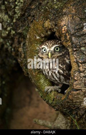 Steinkauz (Athene Noctua) peering von Nest Loch im Baumstamm - Stockfoto