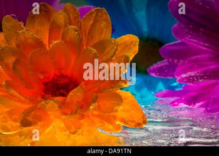 Bunte Margeriten-Blüten mit Wassertropfen - Stockfoto