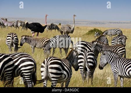 Burchell Zebras und Masai Strauße, Masai Mara, Kenia - Stockfoto