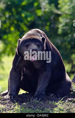 malaysischen Sonne-Bär, Helarctos Malayanus, Bär, Tier - Stockfoto