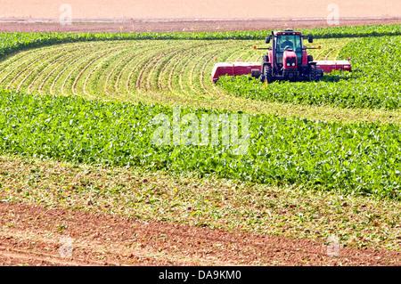 Ernte von Zuckerrüben auf einem ländlichen northern Colorado, USA Bauernhof. - Stockfoto