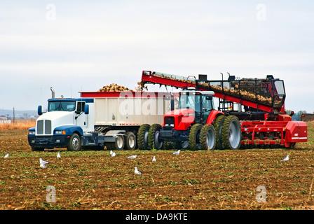 Ein großer Traktor und Lastwagen Graben und Laden von Zuckerrüben aus ein großes Feld als Möwen fest auf die entwurzelten - Stockfoto