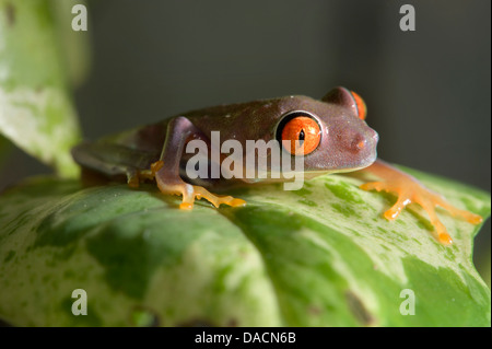 purple Red eyed Laubfrosch (Agalychnis Callidryas) - Stockfoto