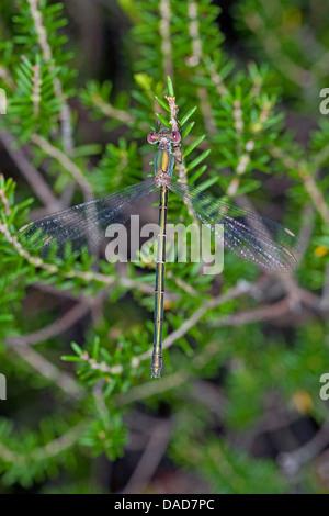 Weide Mererald Damselfly (Lestes Viridis, Chalcolestes Viridis), weibliche sitzt auf einem Zweig, Deutschland - Stockfoto