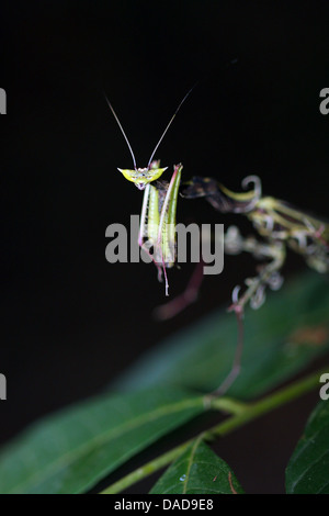 tropischen Mantis lauern auf einem Blatt, Malaysia, Sabah, Danum Valley - Stockfoto