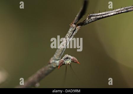 tropischen Mantis, Porträt auf den Kopf nach unten, Malaysia, Sabah, Danum Valley - Stockfoto