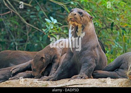 Riesenotter (Pteronura Brasiliensis), Familie, Entspannung in der Nähe von Höhle, Mato Grosso, Brasilien, Rio Cuiabá, - Stockfoto
