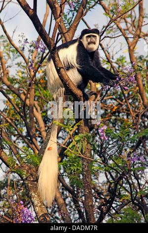 Guereza, Colobus Guereza, östlichen schwarz-weißen Stummelaffen, Jaguaren Colobus, Jaguaren Guereza (Colobus Guereza, - Stockfoto