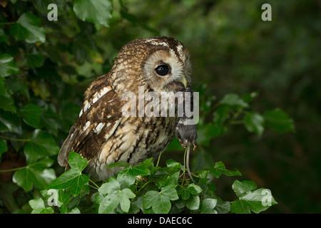 Waldkauz (Strix Aluco) auf eine Hecke mit seiner Beute (kleines Nagetier) hängen von den Schnabel - Stockfoto