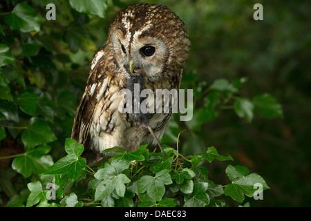 Waldkauz (Strix Aluco) auf eine Hecke mit seiner Beute (ein kleines Nagetier) im Schnabel - Stockfoto