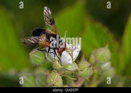 Pellucid Hoverfly Pellucid fliegen (Volucella Pellucens), ernähren sich von Pollen von einer Blume, Deutschland - Stockfoto
