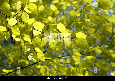 Rotbuche (Fagus Sylvatica), Blätter Buche im Frühjahr, Deutschland, Baden-Württemberg, Schwarzwald - Stockfoto