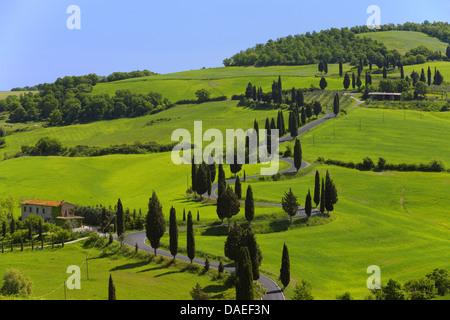 Italienische Zypresse (Cupressus Sempervirens), gewundene Straße gesäumt von Zypressen, Val d ' Orcia, Italien, - Stockfoto