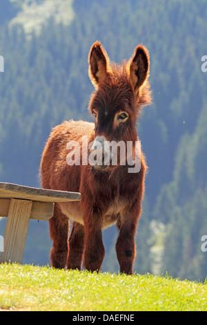 inländische Esel (Equus Asinus F. Asinus), Fohlen, Deutschland - Stockfoto
