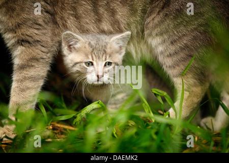 Hauskatze, Hauskatze (Felis Silvestris F. Catus) Kätzchen peering unter dem Bauch seiner Mutter, Deutschland - Stockfoto