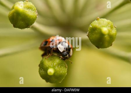 bunten asiatischen Käfer (Harmonia Axyridis), auf Efeu Blüten, Deutschland, Nordrhein-Westfalen