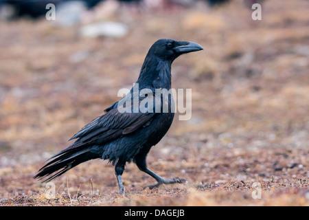 Kolkrabe (Corvus Corax), auf dem Boden auf der Suche nach Nahrung, Sliven, Bulgarien, Sredna Gora - Stockfoto
