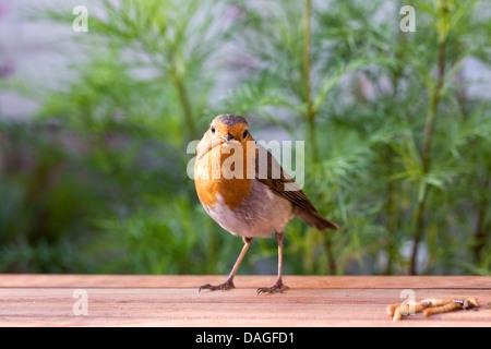 Erithacus Rubecula. Robin Essen Mehlwürmer in einem englischen Garten. - Stockfoto