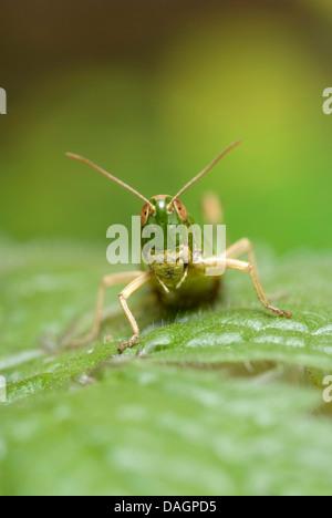 gemeinsamen Wiese Grashüpfer (Chorthippus Parallelus), sitzt auf einem Blatt, Deutschland - Stockfoto