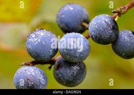Schlehe, Schlehe (Prunus Spinosa), Früchte der Schlehe, Deutschland - Stockfoto