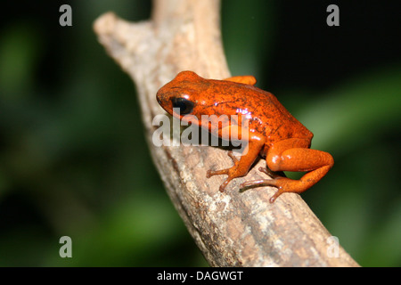Strawberry Poison-Titelkarte Frosch, rot und blau Poison Arrow Frog, Flaming Poison Arrow Frog, Blue Jeans Poison - Stockfoto