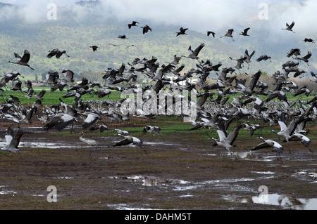 eine große Herde von Kranichen (Grus Grus) Silhouette in der Morgendämmerung. Großkran wandernden Arten, die in nassen Wiesen und Sumpf lebt