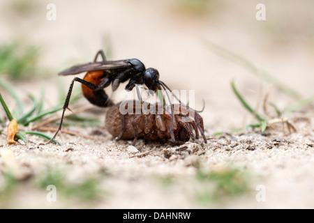 wasp spider stockfoto bild 103606609 alamy. Black Bedroom Furniture Sets. Home Design Ideas
