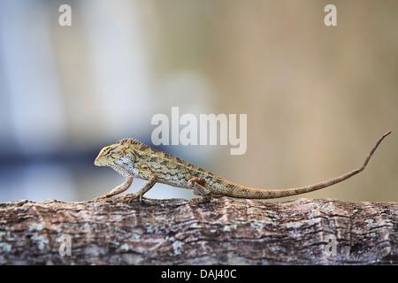 Oriental Garden Lizard - Stockfoto