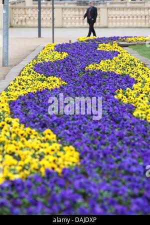 Gelbe und blaue Stiefmütterchen abdecken des Stadtzentrums in Schwerin, Deutschland, 6. April 2011. Frühlingsblumen - Stockfoto