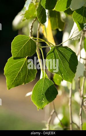 Silberpappel, Silber-leaved Pappel, Abele (Populus Alba), Blätter an einem Baum, Deutschland - Stockfoto