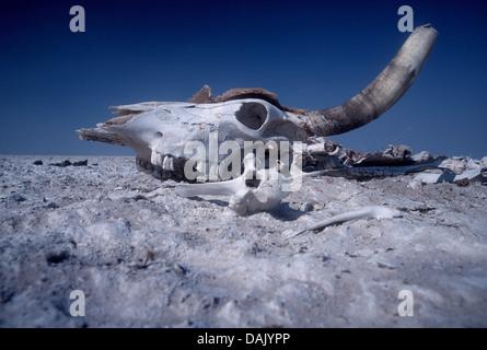 Schädel des Toten Rindern - Stockfoto