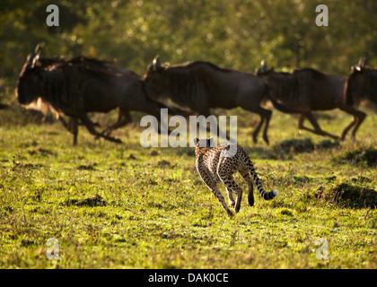 Gepard (Acinonyx Jubatus) jagen Gnus (Connochaetes Taurinus) - Stockfoto