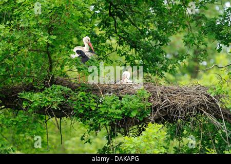 Weißstorch (Ciconia Ciconia), Storchenpaar auf ihrem Nest, Deutschland - Stockfoto
