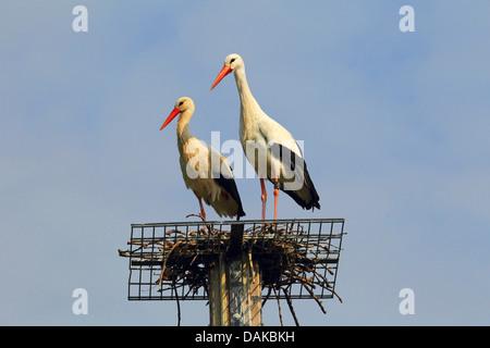 Weißstorch (Ciconia Ciconia), zwei Weißstörche nisten Beihilfen, Deutschland - Stockfoto