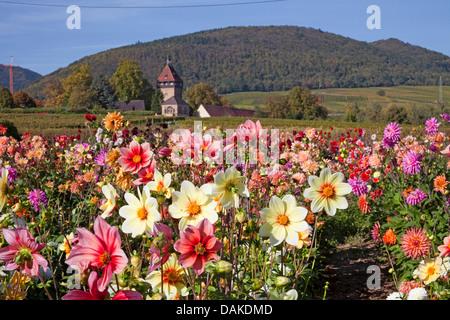 Georgina (Dahlia spec.), Georgina field, Deutschland, Rheinland-Pfalz, Geilweilerhof - Stockfoto