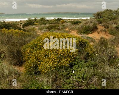 Ginster (Genista Acanthoclada), in Phyrgana, Griechenland, Peloponnes, Elafonisos blüht - Stockfoto