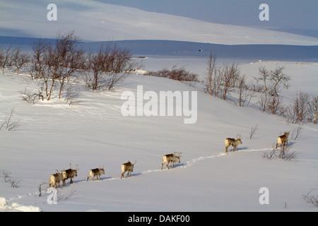 rentier rangifer tarandus herde in abstand im schnee forollhogna nationalpark norwegen. Black Bedroom Furniture Sets. Home Design Ideas