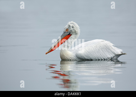 Krauskopfpelikan (Pelecanus Crispus), Schwimmen, Griechenland, Kerkini-See - Stockfoto