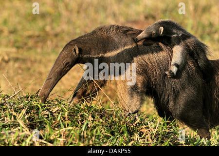 Großer Ameisenbär (Myrmecophaga Tridactyla), weiblichen Ameisenbär trägt ihr Kind auf den Rücken, Brasilien, Mato - Stockfoto