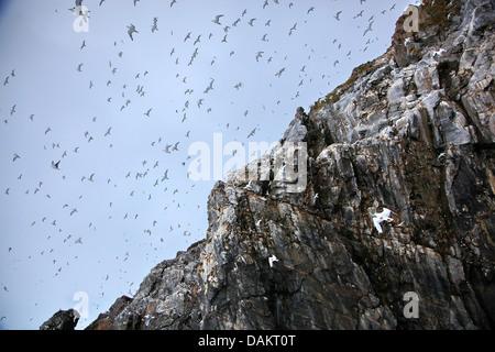 Schwarz-legged Kittiwake (Rissa Tridactyla, Larus Tridactyla), Kolonie an einem Vogelfelsen; viele Möwen im Flug, - Stockfoto