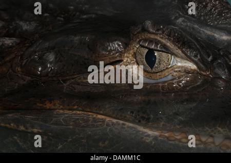Auge von der brillentragende Kaiman (Caiman Crocodilus) - Stockfoto