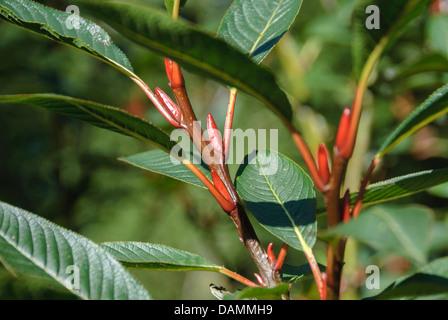Farges Weide (Salix Fargesii), Zweig mit Knospen, Schweiz - Stockfoto