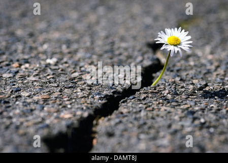 blume w chst durch asphaltdecke stockfoto bild 416073 alamy. Black Bedroom Furniture Sets. Home Design Ideas