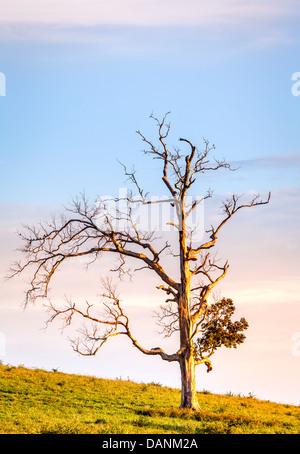 Kahler Baum auf einem Hügel bei Sonnenuntergang - Stockfoto