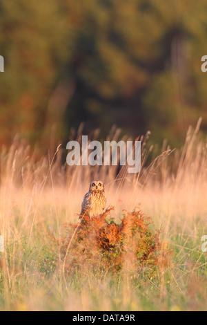 Sumpfohreule (Asio Flammeus) thront auf Wacholder. Europa, Estland - Stockfoto