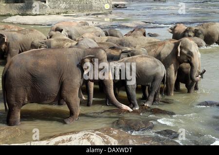 Asiatische Elefanten im MAHA OYA Fluss PINNAWALA ELEPHANT Waisenhaus SRI LANKA 12. März 2013 - Stockfoto
