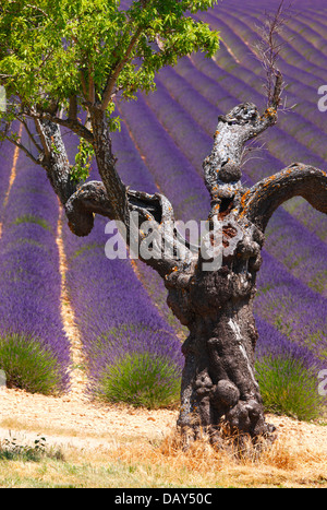 Einem alten Mandelbaum im Lavendelfeld in der Provence, Frankreich - Stockfoto