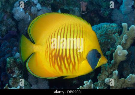 Gelbe Butterflyfish am Korallenriff. - Stockfoto